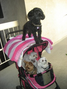Karen's dogs Coco (on top) Bella, Martini and Gucci. They're off to the nursing home to bring some cheer.