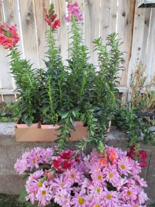 snapdragons and chrysantemums waiting to be planted